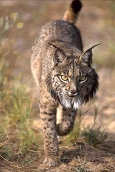Lynx.jpeg